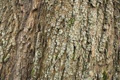 Das barck des Baumdetails lizenzfreies stockbild