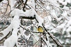 Das bedeutende Sitzen Kohlmeise Parus auf Niederlassung des Baums unter Schnee stockfoto