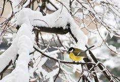 Das bedeutende Sitzen Kohlmeise Parus im Baum im Winter stockfoto