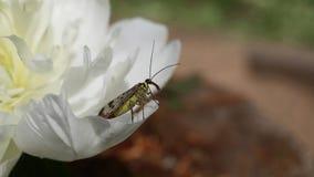 Das beflügelte Insekt, das scorpionfly allgemein sind oder Mecoptera communis /Panorpa ist auf einer Pfingstrosenblume stock video