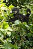 Das Berggorilla Gorilla beringei beringei, das auf dem grünen Busch sitzt Stockfotografie