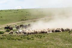 Das bewegliche Vieh Stockfotografie