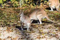 Das bewegliche Wallaby, Macropus agilis alias das sandige Wallaby lizenzfreie stockfotos