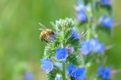 Das Biene und Anlageechium vulgare mit blauen Blumen Lizenzfreie Stockfotos