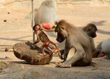 Das Bild der Affefamilie Lizenzfreies Stockbild