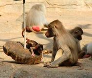 Das Bild der Affefamilie Lizenzfreies Stockfoto
