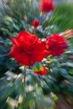 Das Bild einer Rose mit Effekt der Bewegung Stockbild