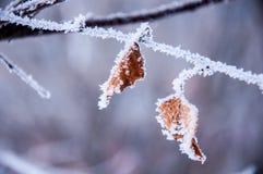 Das Birkenblatt bedeckt durch den Schnee Stockfoto