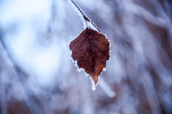 Das Birkenblatt bedeckt durch den Schnee Lizenzfreies Stockbild
