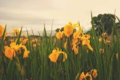 Das Blühen auf dem Ufer des Sees ist die Blume des gelbe Iris pseudacorus Lizenzfreie Stockbilder