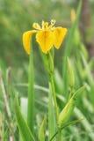 Das Blühen auf dem Ufer des Sees ist die Blume des gelben ir Stockfotografie