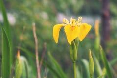 Das Blühen auf dem Ufer des Sees ist die Blume des gelben ir Stockfoto