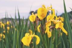 Das Blühen auf dem Ufer des Sees ist die Blume des gelben ir Lizenzfreies Stockfoto