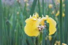 Das Blühen auf dem Ufer des Sees ist die Blume des gelben ir Lizenzfreies Stockbild