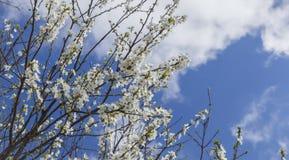 Das Blühen knospt auf dem Baum gegen den blauen Himmel Lizenzfreies Stockfoto