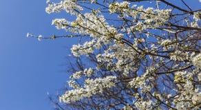 Das Blühen knospt auf dem Baum gegen den blauen Himmel Stockfoto