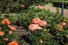 Das Blühen Rosenbusch im Sommergarten stockbilder