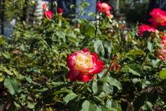 Das Blühen Rosenbusch im Sommergarten lizenzfreie stockbilder