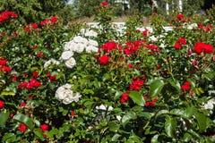 Das Blühen Rosenbusch im Sommergarten lizenzfreies stockbild