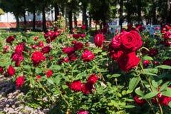 Das Blühen Rosenbusch im Sommergarten lizenzfreie stockfotografie
