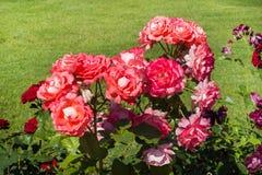 Das Blühen Rosenbusch im Sommergarten stockfoto