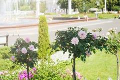 Das Blühen Rosenbusch im Sommergarten stockfotografie