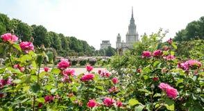 Das Blühen stieg Blumen im sonnigen Campus von Moskau-Universität lizenzfreies stockbild