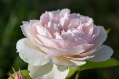 Das Blühen stieg in den Garten an einem sonnigen Tag Rose Gentle Hermione Stockfotos