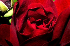 Das Blühen stieg mit den hellen roten Blumenblättern Makro Stockfoto