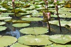 Das Blühen von Wasserblumen lizenzfreie stockfotos