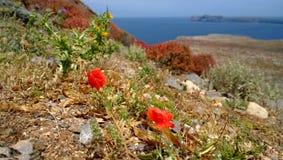 Das Blühen von zwei Mohnblumen auf der Insel von Gramvousa in Maifeiertag Lizenzfreie Stockfotos