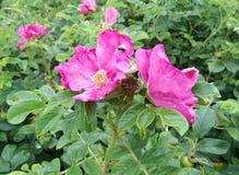 Das Blühen wild stieg lizenzfreie stockfotos