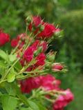 Das blühende Rosebush Stockfotografie