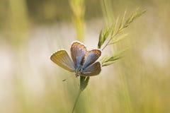 Das blaue weibliche Polyommatus bellargus Adonisses auf Grasstiel Lizenzfreie Stockfotos