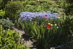 Das Bleiwurz zeylanica und die rote Tulpe im Garten Stockfotografie