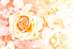 Das Blumenblatt der Rosen Stockfotografie