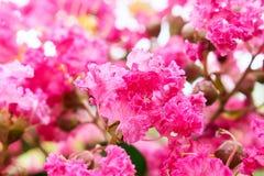 Das Blumenblatt von China-Beere stockfoto
