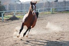 Das braune Pferd Stockbilder