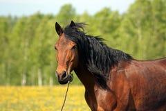 Das braune Pferd auf einer Weide Stockfotografie
