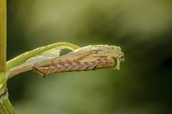 Das braune Schmetterlingsgleiskettenfahrzeug acronicta auricomahid lizenzfreies stockfoto