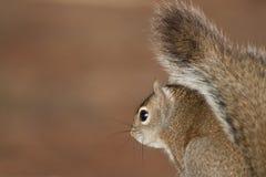 Das Brown-Eichhörnchen, das über ihm schaut, ist Schulter Lizenzfreie Stockbilder