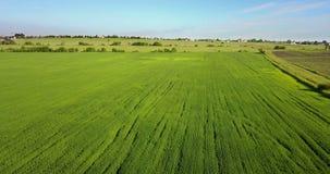 Das Brummen fliegt entlang das Feld mit den grünen Ohren des Weizens zum sonnigen Tag des Sommers vor dem hintergrund des blauen  stock video footage