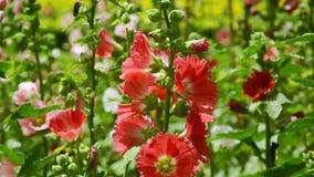 Das bunte von Stockrosen in der Sommersaison im Garten stock footage