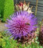 Das charakteristische purpurrote behaarte Köpfchen einer Kardenblume Lizenzfreies Stockbild