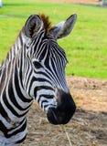 Das das Essengras des Zebras Stockfotos