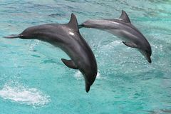 Das Delphin-Springen lizenzfreies stockfoto