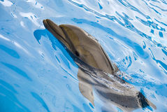 Das Delphinschwimmen im Pool Lizenzfreies Stockfoto