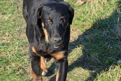 Das Detail der Beschaffenheit des schwarzen Hundes der unbekannten Zucht Stockfotografie