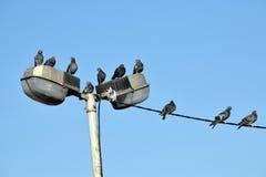 Das Detail der Vögel auf dem Draht, Taube Lizenzfreies Stockbild