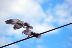 Das Detail der Vögel auf dem Draht, Taube Stockbild